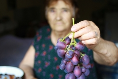 First Grape Harvest